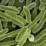D-Mannose bekämpft erfolgreich E. Coli Bakterien
